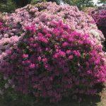 磐田市 つつじ公園 | つつじの花満開♪只今見ごろです。